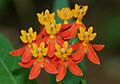 Asclepias curassavica (Mexican Butterfly Weed) W2 IMG 1570.jpg