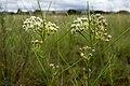 Asclepias subverticillata - Flickr - aspidoscelis.jpg