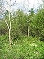 Ash plantation - Micheldever Woods - geograph.org.uk - 1672168.jpg