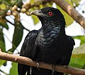Asian Koel (Male) I IMG 8190.jpg