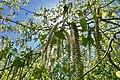 Aspen (Populus tremula) wind-pollinated catkins pollination shedding pollen tiny seeds embedded in downy fluff in spring (pappus) (osp rakler frøspredning med vind fra hunnrakler om våren) Tjøme, Norway 2019-05-16 DSC02237.jpg