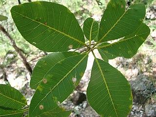 <i>Aspidosperma subincanum</i> species of plant