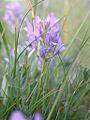 Astragalus adsurgens (3310754905).jpg