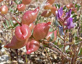 Astragalus lentiginosus 4.jpg