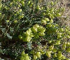 Astragalus lentiginosus 9.jpg