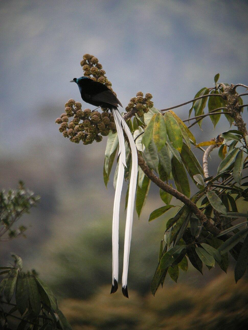 Astrapia mayeri -Papua New Guinea-8
