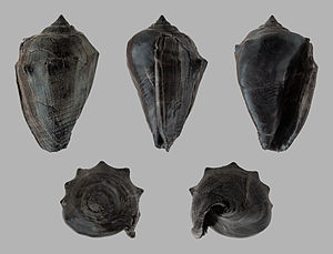 Athleta - Athleta ficulina, a fossil species from Miocene