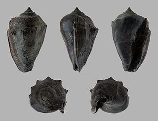 <i>Athleta</i> genus of molluscs