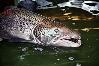 Kype - The kype is the hook on the lower jaw which some salmonids develop before the breeding season.