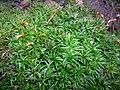 Atrichum undulatum (Hedw.)-Bezvláska vlnkatá, také Bezvláska čeřitá, dříve Kátinka vlnkatá(4).jpg