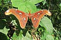 Attacus atlas - Atlas moth - at Peravoor (10).jpg
