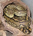 Australian-Carpet-Python.jpg