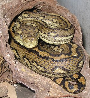 Australian Aboriginal mythology - Australian carpet python, one of the forms the 'Rainbow Serpent' character may take in 'Rainbow Serpent' myths