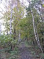 Autumn birches on the Waverley Line at Sheriffhall - geograph.org.uk - 1035607.jpg