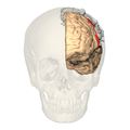 BA312 - Primary Somatosensory Cortex - anterior view - with homunculus.png