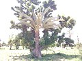 BAOBAB tree with DATE PALM tree sharing the same root. in Gezawa village Kano state (12).jpg