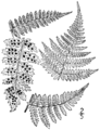 BB-0048 Dryopteris intermedia.png