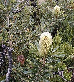 Banksia aemula am Lake Munmorah
