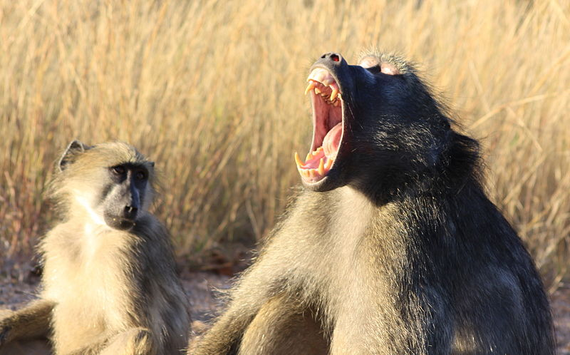 File:Baboons (3540212876).jpg
