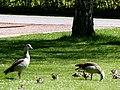Bad Sassendorf – Kurpark - Nilgans-Familie - panoramio.jpg