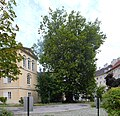Baden, Platane beim Florastöckel 3.jpg