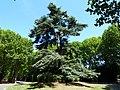 Bagneux cimetière parisien cèdre remarquable.JPG