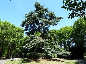 Cimetière parisien de Bagneux - Image: Bagneux cimetière parisien cèdre remarquable