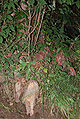 Bald Cypress Knees 1798px.jpg