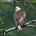 Bald Eagle (20146738980).jpg