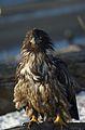 Bald Eagle Alaska (12).jpg