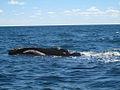 Ballenas en Península Valdès.jpg