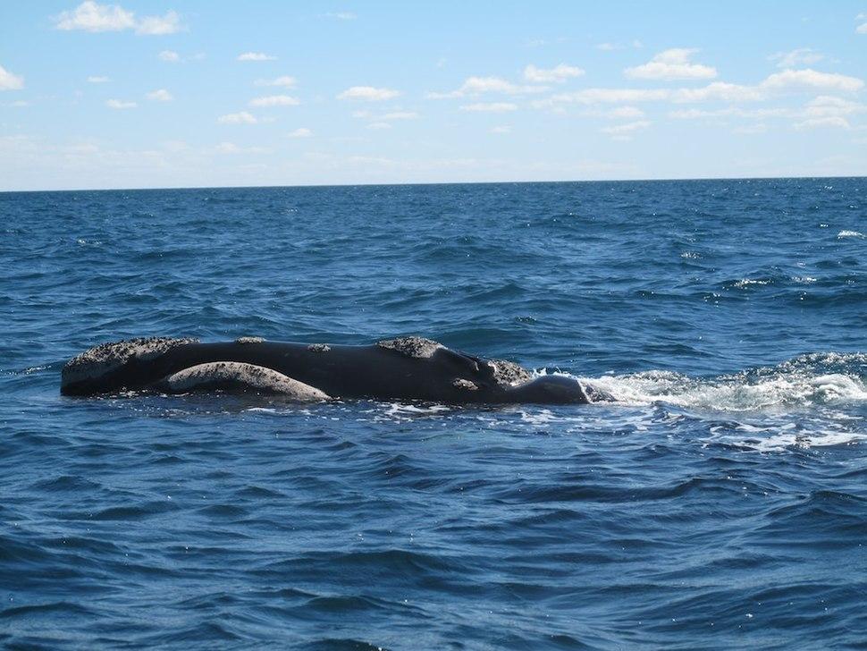 Ballenas en Península Valdès