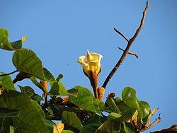 Balsa Tree Flower - Flickr - treegrow.jpg