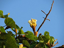Balsa Tree Flower - Flickr - treegrow.jpg