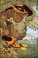 Baltimore Orioles and nest.jpg
