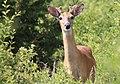 Bambi in Nashotah Park - panoramio.jpg