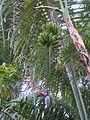 Banana flower fruit.jpg
