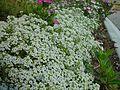 Bank of little white flowers.jpg