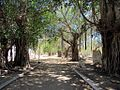 Banyan Trees (33773473102).jpg
