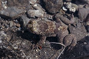 Philippinen-Barbourfrosch (Barbourula busuangensis)