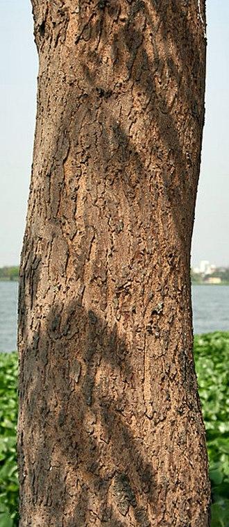 Swietenia mahagoni - Bark