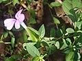 Barleria montana (4121558267).jpg