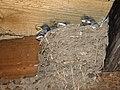 Barn Swallows (Hirundo rustica) - geograph.org.uk - 200068.jpg