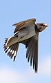 Barn swallow, Hirundo rustica, at Rietvlei Nature Reserve, Gauteng, South Africa (31299252601).jpg