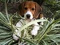 Beagle Cachorro.JPG