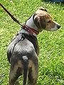 Beagle at Memorial Glade 2.JPG