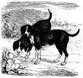 Beagles du sud - Brehm.jpg