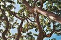 Beautiful trees in Southern California (10221355144).jpg