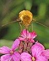 Bee-fly - Flickr - Martin Cooper Ipswich.jpg