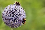 Bee - Wimpole Hall (28106917964).jpg
